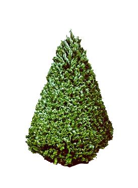 6 7 ft douglas fir christmas tree
