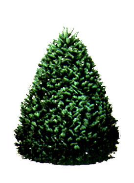 6 7 ft grand fir christmas tree