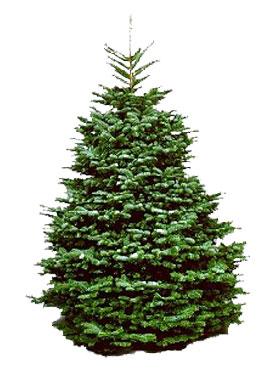6 7 ft noble fir christmas tree